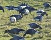 Brent Geese feeding