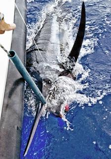 0059_'Grander' Blue Marlin, (1000lb+)
