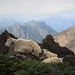 Mountain Goats Atop Mount Ellinor by r.whitlock