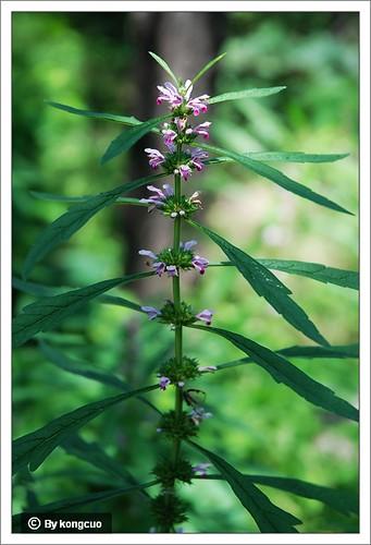 北京阳台山的常见野花-唇形科益母草属益母草