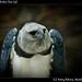 Harpy eagle, Belize Zoo (3)