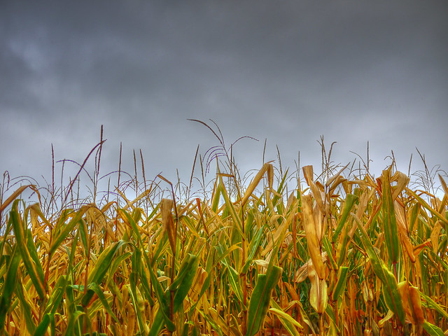 Morrow Plots Corn Field In The Rain Flickr Photo