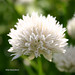 Small photo of Allium schoenoprasum