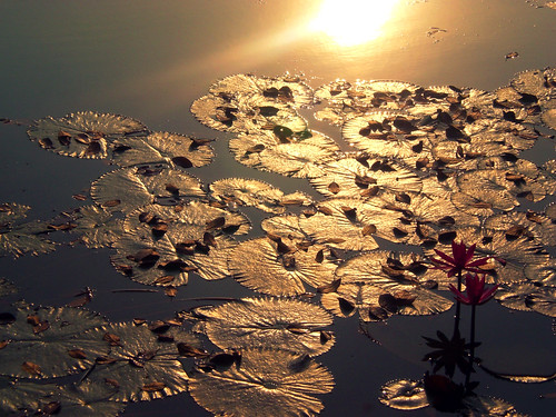 life morning winter light sun lake flower reflection love leaves sunrise dawn leaf shine lily pad fallen ju bangladesh bangla chhayapath