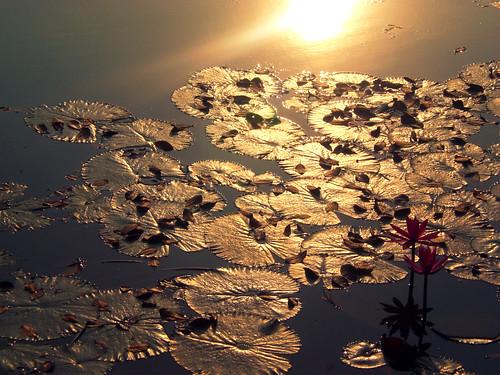 life morning winter light sun lake flower reflection love leaves sunrise dawn leaf shine lily pad fallen ju bangladesh bangla chhayapath