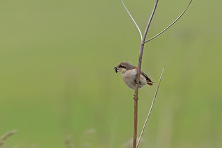 Daurian Shrike, South Shields, Tyne and Wear, England