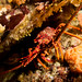 Jasus edwardsii - Southern rock lobster by Marine Explorer