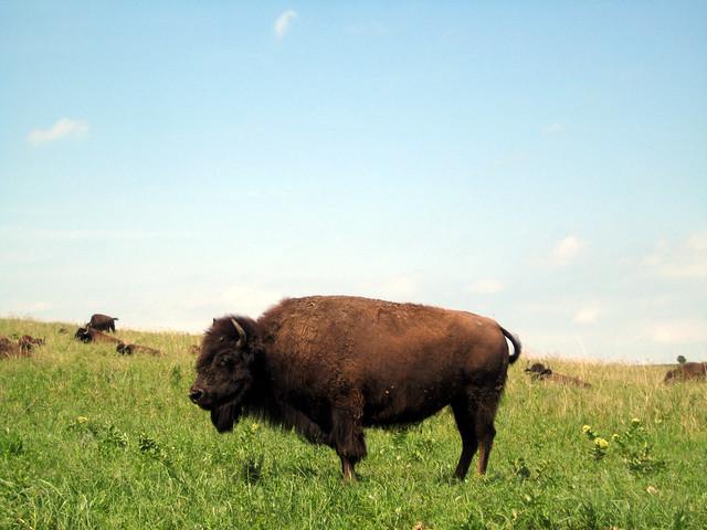 Bison Oklahoma Oklahoma Buffalo | Fli...