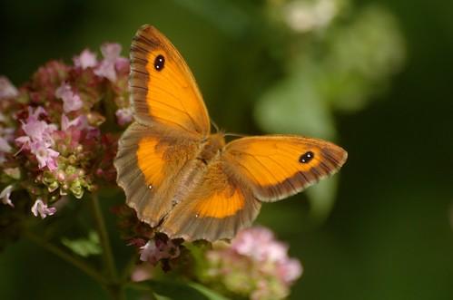 Oranje en bruin zandoogje gatekeeper and meadow brown annetannes tuin - Kussen oranje en bruin ...