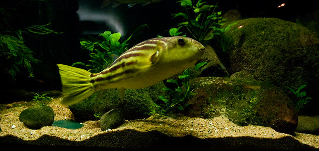 Freshwater puffer fish i had no idea those even existed for Fresh water puffer fish