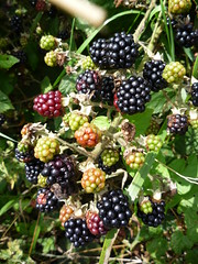 blackberry, berry, plant, frutti di bosco, fruit, boysenberry, dewberry,