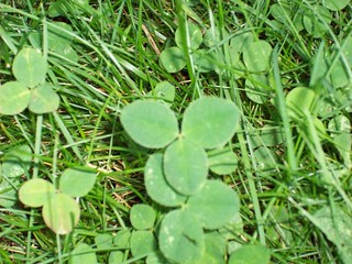 Getting rid of clover in your yard