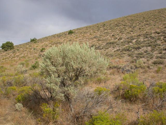 Header of Artemisia tridentata tridentata