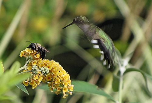 Nectar seekers - Hummingbird and bumblebee