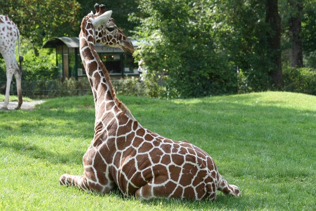 A giraffe in Tierpark Hellabrunn