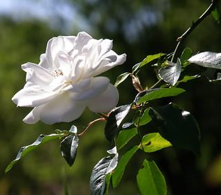 Rosa Blanca!  para ustedes amigos de Flickr