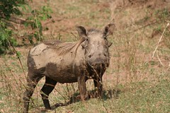 pig(0.0), horn(0.0), grazing(0.0), rhinoceros(0.0), animal(1.0), fauna(1.0), pig-like mammal(1.0), warthog(1.0), safari(1.0), wildlife(1.0),