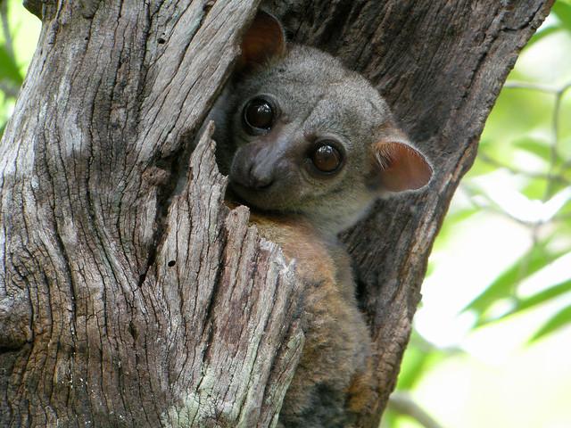 Lepilemur edwardsi, Parque Nacional de Ankarafantsika, Madagascar