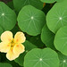 nasturtium - Photo (c) Quinn Dombrowski, some rights reserved (CC BY-SA)