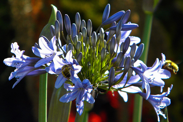 African Lily with bees