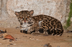 animal, small to medium-sized cats, mammal, fauna, cat, rusty-spotted cat, wild cat, ocelot, whiskers, wildlife,