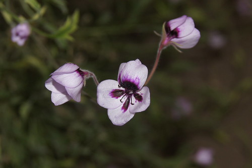 Pelargonium tricolor, a form with lilac flowers