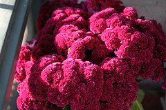 carnation(0.0), vegetable(0.0), purple(0.0), red(0.0), food(0.0), crochet(0.0), chrysanths(0.0), flower(1.0), plant(1.0), woolflowers and cockscombs(1.0), produce(1.0), pink(1.0), petal(1.0),
