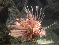 animal(1.0), fish(1.0), marine biology(1.0), fauna(1.0), lionfish(1.0), scorpionfish(1.0),