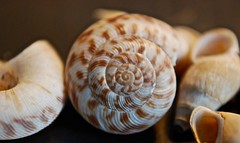 snail(0.0), compact car(0.0), escargot(0.0), cockle(0.0), animal(1.0), sea snail(1.0), invertebrate(1.0), seashell(1.0), nautilida(1.0), close-up(1.0), conch(1.0),
