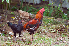 fiery Thai roosters