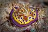 Chromodoris kuniei
