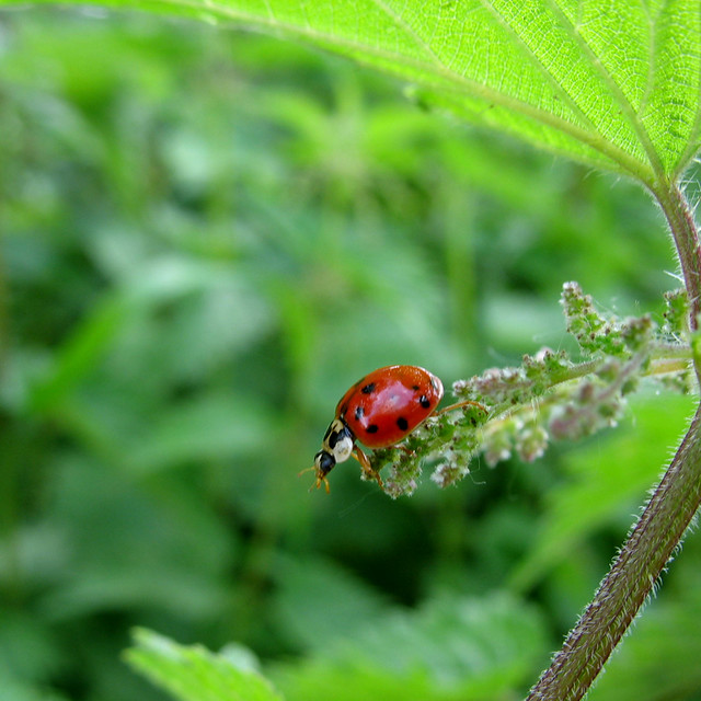 Ladybug on Nettle - My Ladybug should bring you Luck  -  Happy New Year 2010 !!!