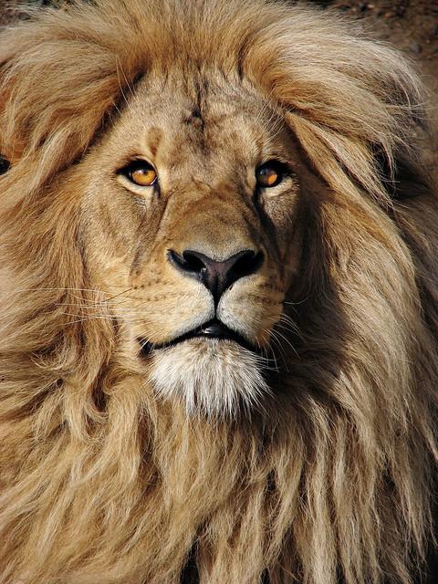 4231605715 fd0ff2d13a z jpg zz 1Katanga Lion