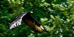 Aguila De Verreaux