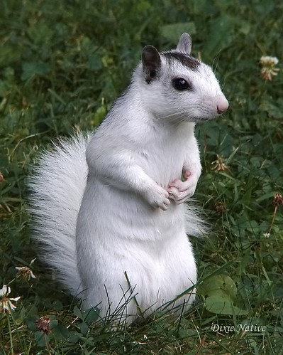 Here you go Charlie.  A long lost cousin of your squirrel family.