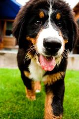 puppy(0.0), appenzeller sennenhund(0.0), dog breed(1.0), animal(1.0), dog(1.0), greater swiss mountain dog(1.0), entlebucher mountain dog(1.0), bernese mountain dog(1.0), carnivoran(1.0),