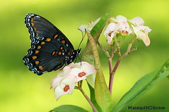 Red-spotted Purple...