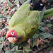 Parrots in Russian Hill too