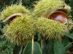 arecales(0.0), rambutan(0.0), coconut(0.0), flower(0.0), tree(0.0), thorns, spines, and prickles(0.0), durian(0.0), chestnut(1.0), nuts & seeds(1.0), plant(1.0), flora(1.0), fruit(1.0), food(1.0),