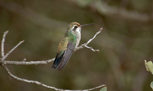 immature broad-billed hummingbird