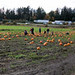 Pumpkin Patch Panorama