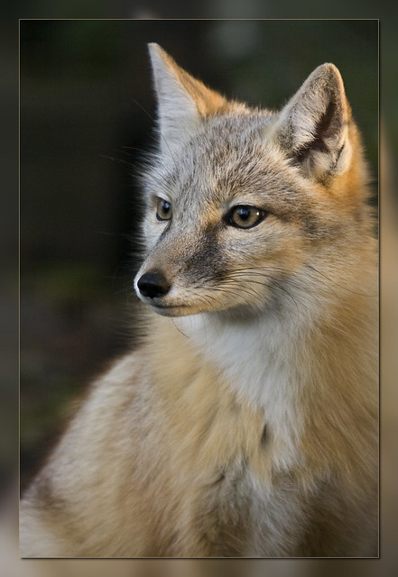 corsac fox scroll down � to see more in this serie