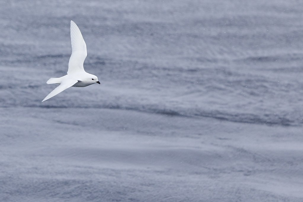 Snow Petrel - Photo (c) Ian Duffy, some rights reserved (CC BY)