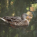 Contentment: Female Mallard