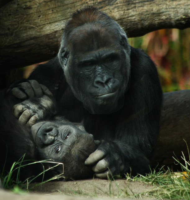 Lowland Gorilla Mother