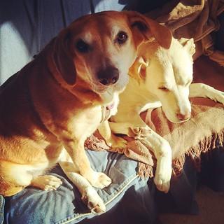 Sophie & Zeus sharing the morning #sunspot #love #ilovemydogs #instadog #dogstagram #mutt #houndmix #bigdog #labmix #adoptdontshop #rescue #dogs