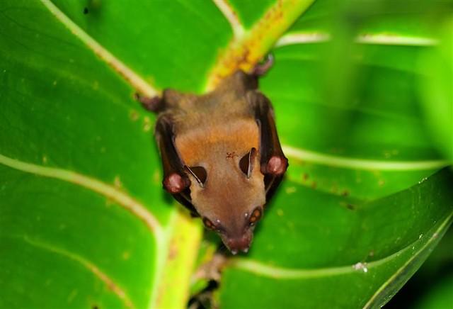 Lesser dog faced fruit bat cynopterus brachyotis flickr photo