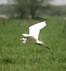 animal, wing, fauna, meadow, ciconiiformes, great egret, heron, beak, bird, wildlife,