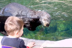 sequoia encounters a sea otter up close    MG 5723