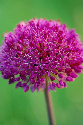 Allium Purple Sensation. Angel Collins' Garden Www